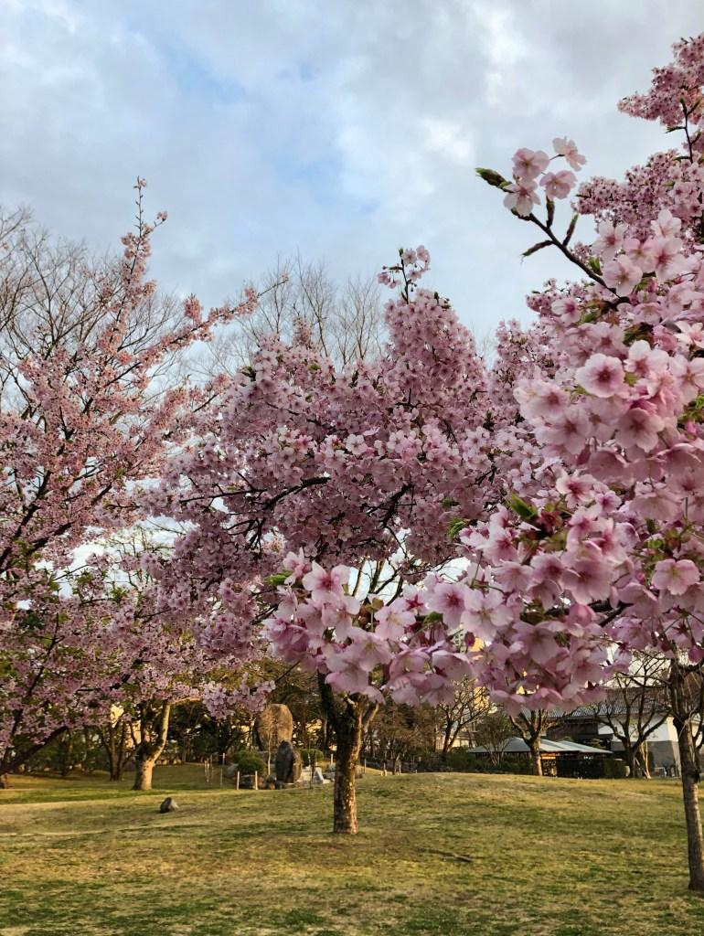 静岡公園での河津桜 early blooming kawazu sakura at sunpu-jo koen, Shizuoka