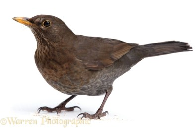 Blackbird (Turdus merula) female.