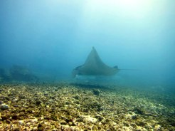 Manta ray, Manta Point