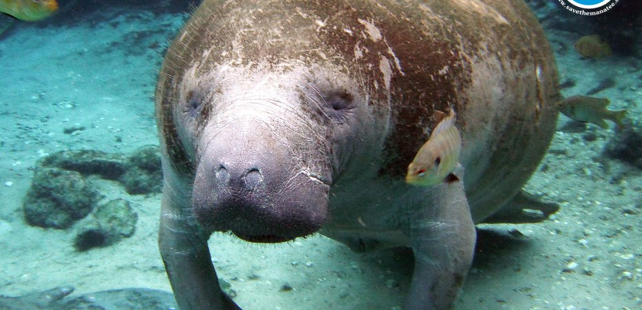 Manatee Jokes and Puns