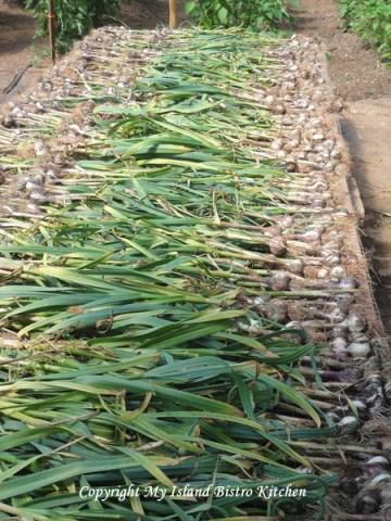 Freshly-harvested Garlic Drying
