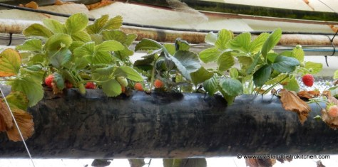 Strawberries growing in the Schurman Family Greenhouse