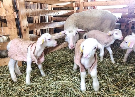 Baby Lambs at Ferme Isle Saint-Jean, Rustico, PEI (Photo courtesy Ferme Isle Saint-Jean)