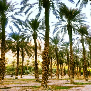 Date Palms at Ein Gedi