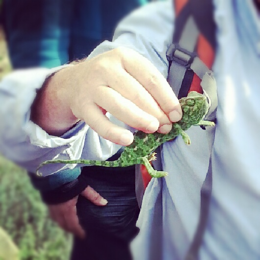 Chameleon at the Botanical Gardens in Tel Aviv