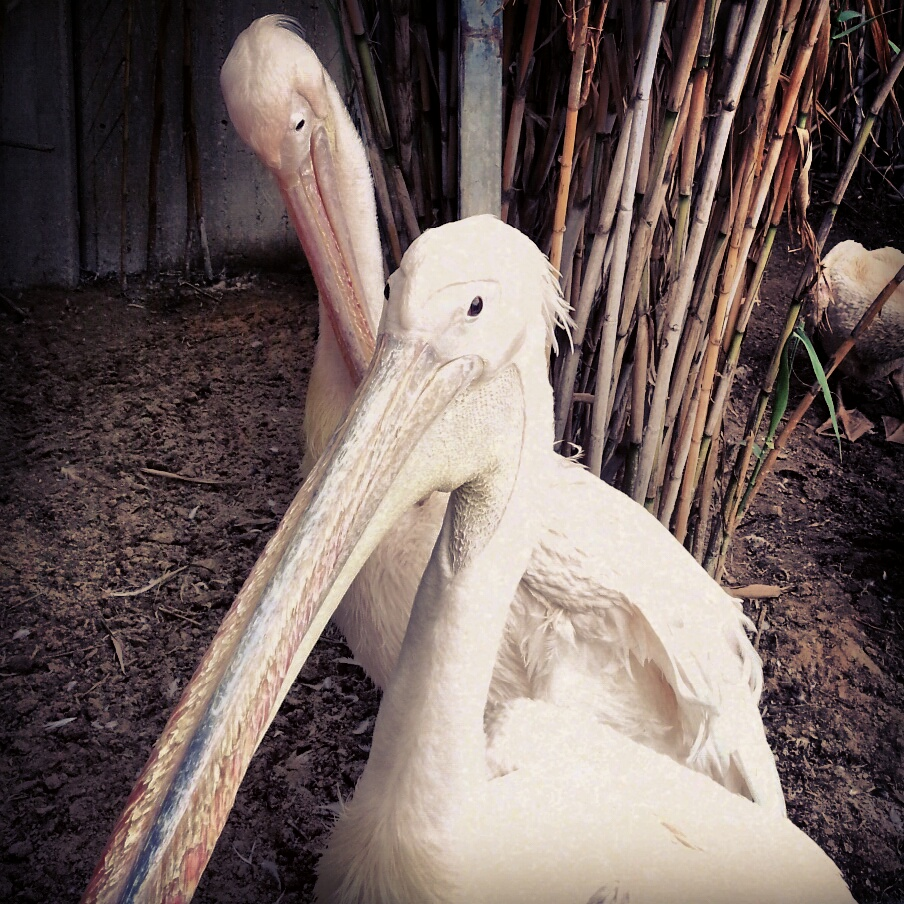 Pelicans at the Zoological Gardens in Tel Aviv