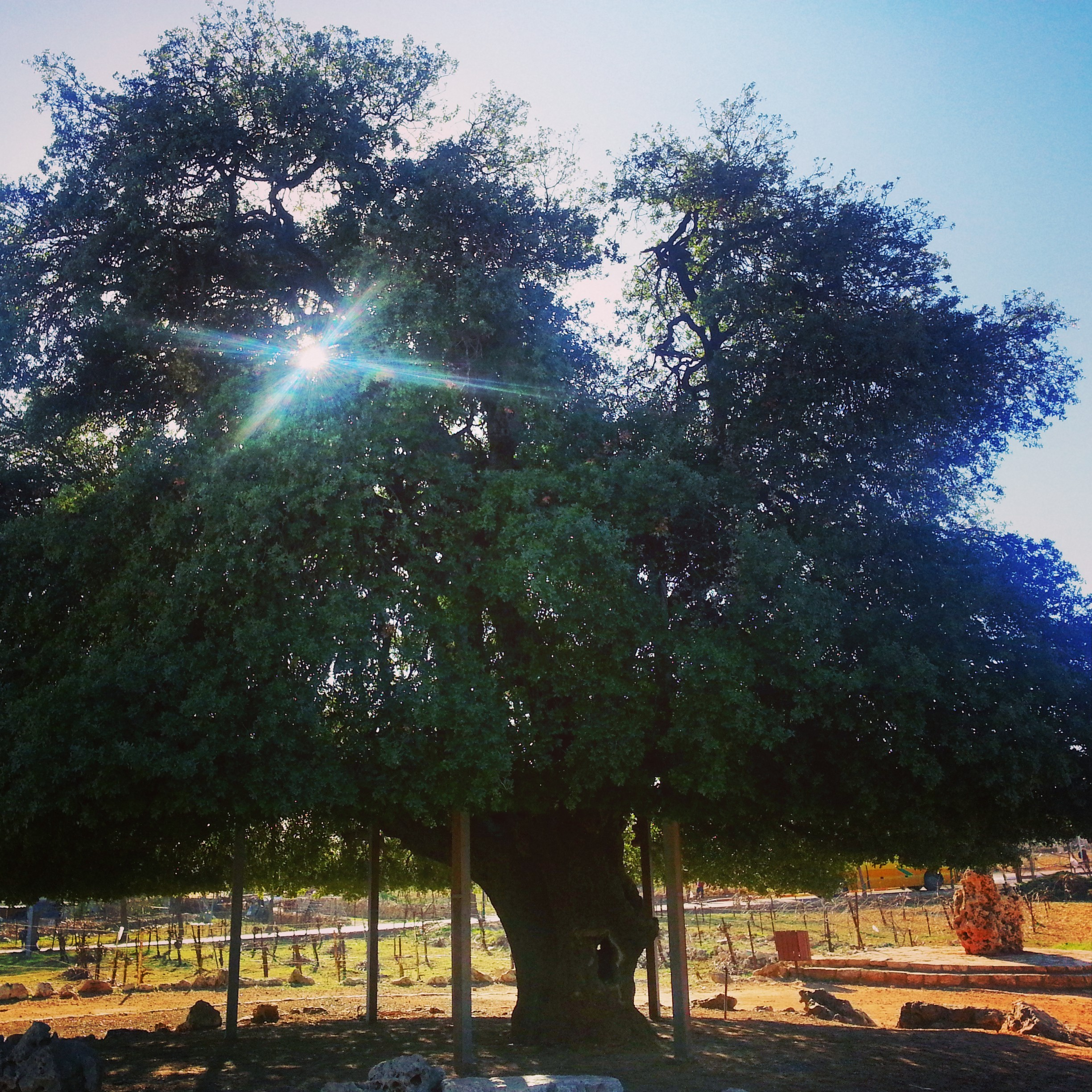 The Lone Oak next to Alon Shvut