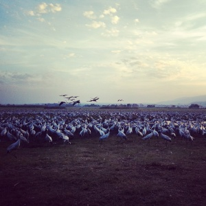 Migrating cranes at the Agamon