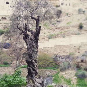 Ancient olive tree in Wadi Kelt