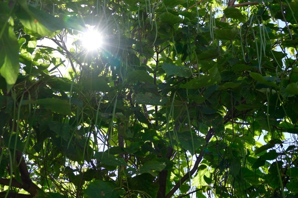 Августовское солнце пробивается сквозь крону