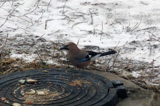 Сойка, считается бесстрашной птицей