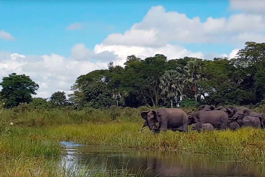 Слон спас слоненка от крокодила