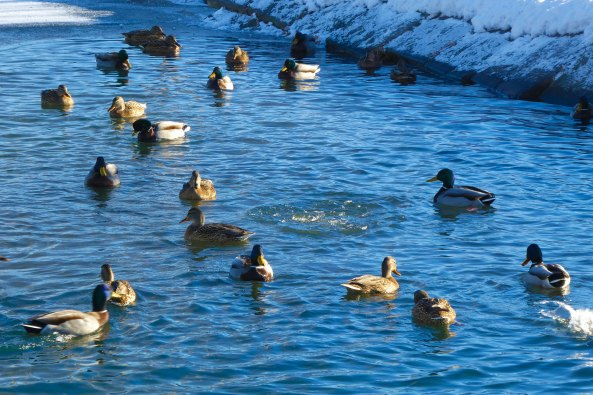 Утки комфортно зимуют в пруду от источника
