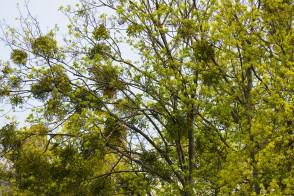 Дерево заражено растением паразитом