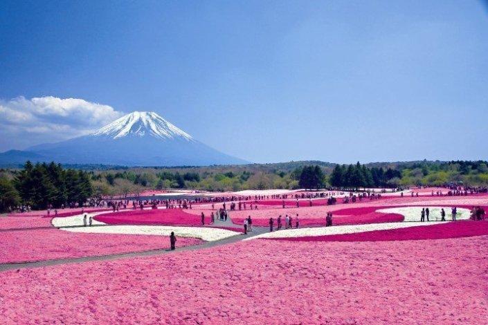 Mount Fuji - Shibazakura Festival