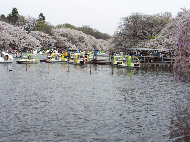 井の頭池_inokashira_hanami_sakura