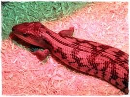 Blue tongued lizard (II)