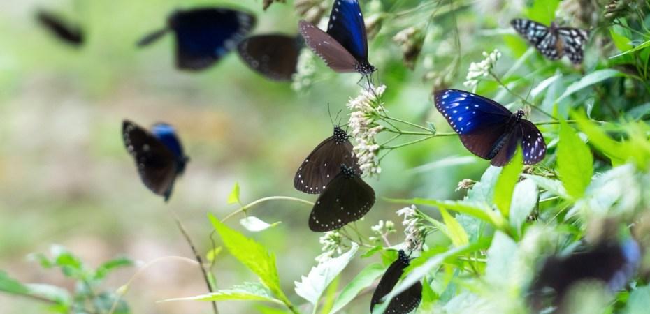 Kaohsiung Maolin District Purple Butterfly