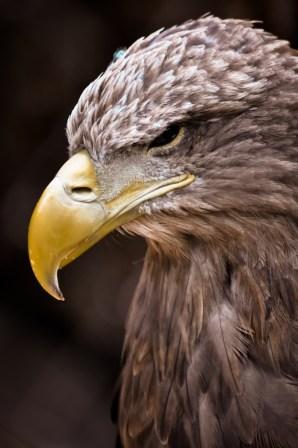 2012-07-22 - Priamursky Zoosad - Águila Pensativa