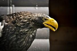 2012-07-22 - Priamursky Zoosad - Águila Rara