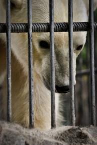 2012-07-22 - Priamursky Zoosad - Oso Polar Reflexionando