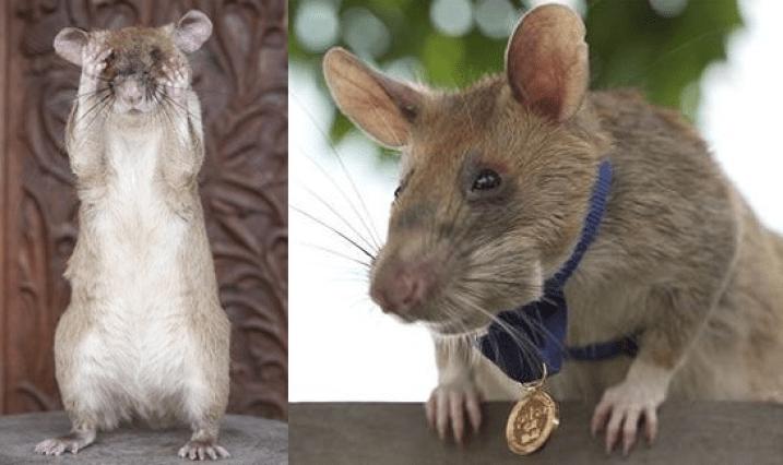 Magawa Si Tikus Pintar Bersara Selepas Lima Tahun Bantu Kemboja Kesan Periuk Api