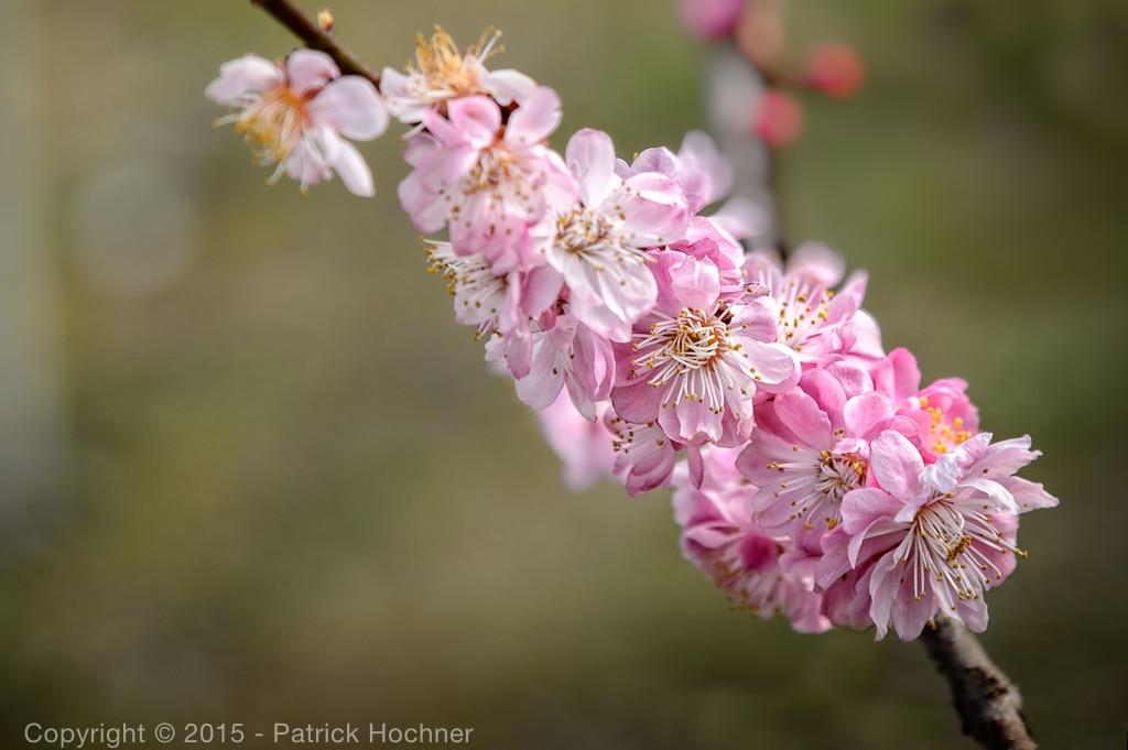 Cherry blossom, Kyoto