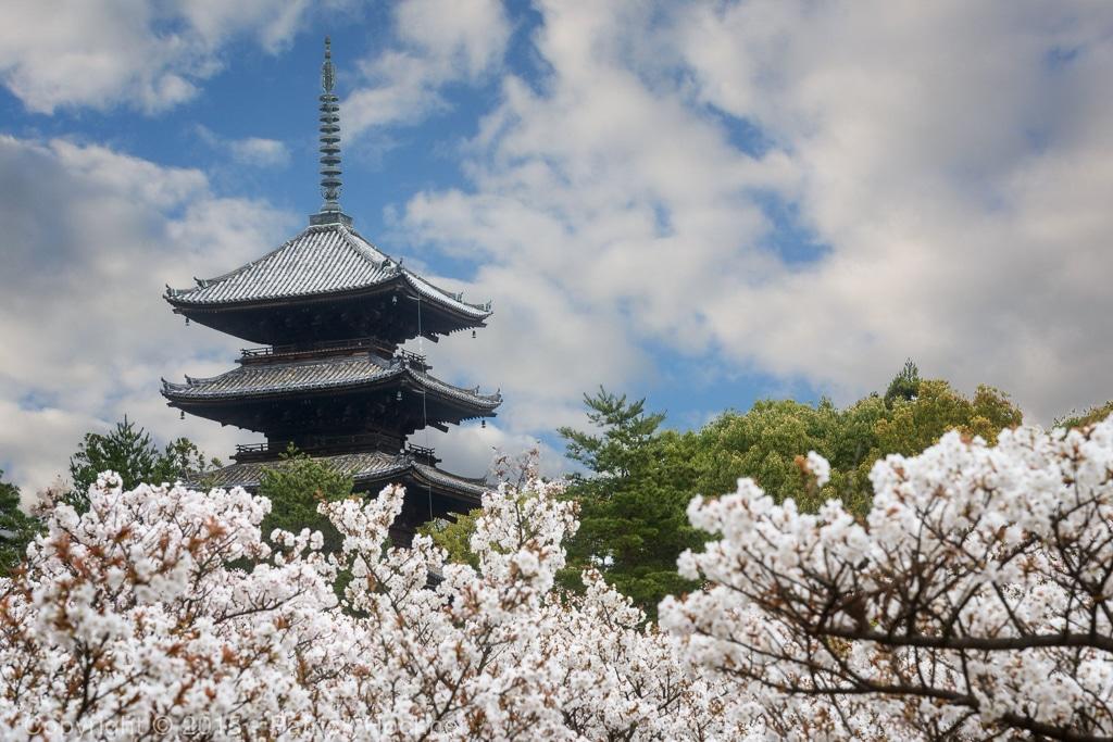 The Omuro cherries at Ninna-Ji Temple