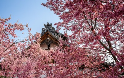 Okame Cherry at the Chotokuji Temple