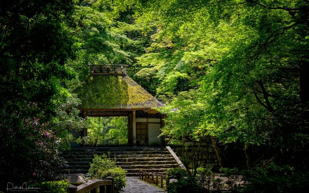 Ao Momiji – New Maple Leaves