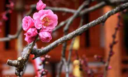 Plum blossoms at the Kitano Tenmangu Shrine