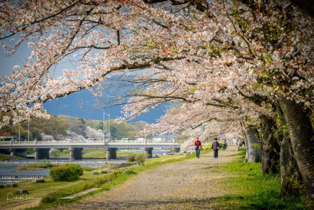 Cherry blossom along the banks of the Kamogawa