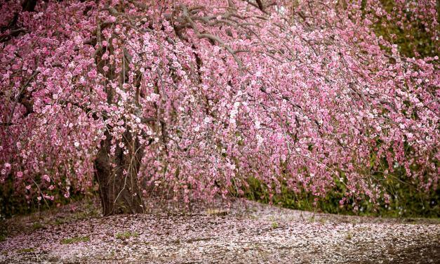 February 2020 – Plum Blossom