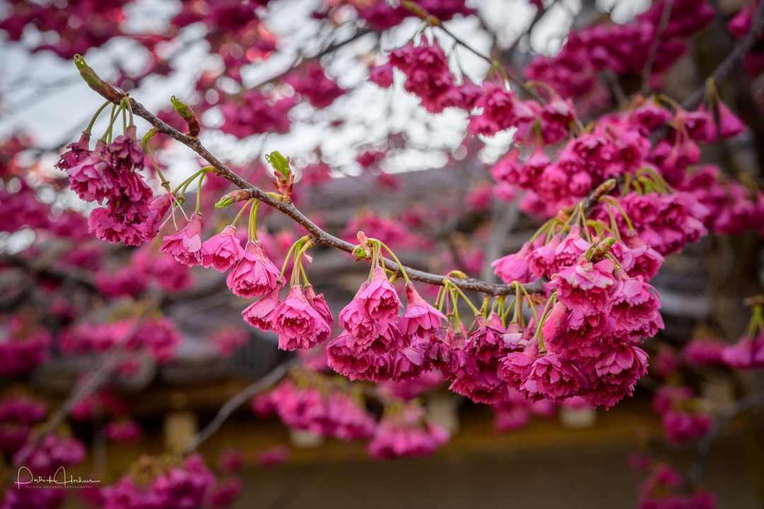 Cherry blossom (Kanhi Zakura) at Chotokuji Temple, Kyoto