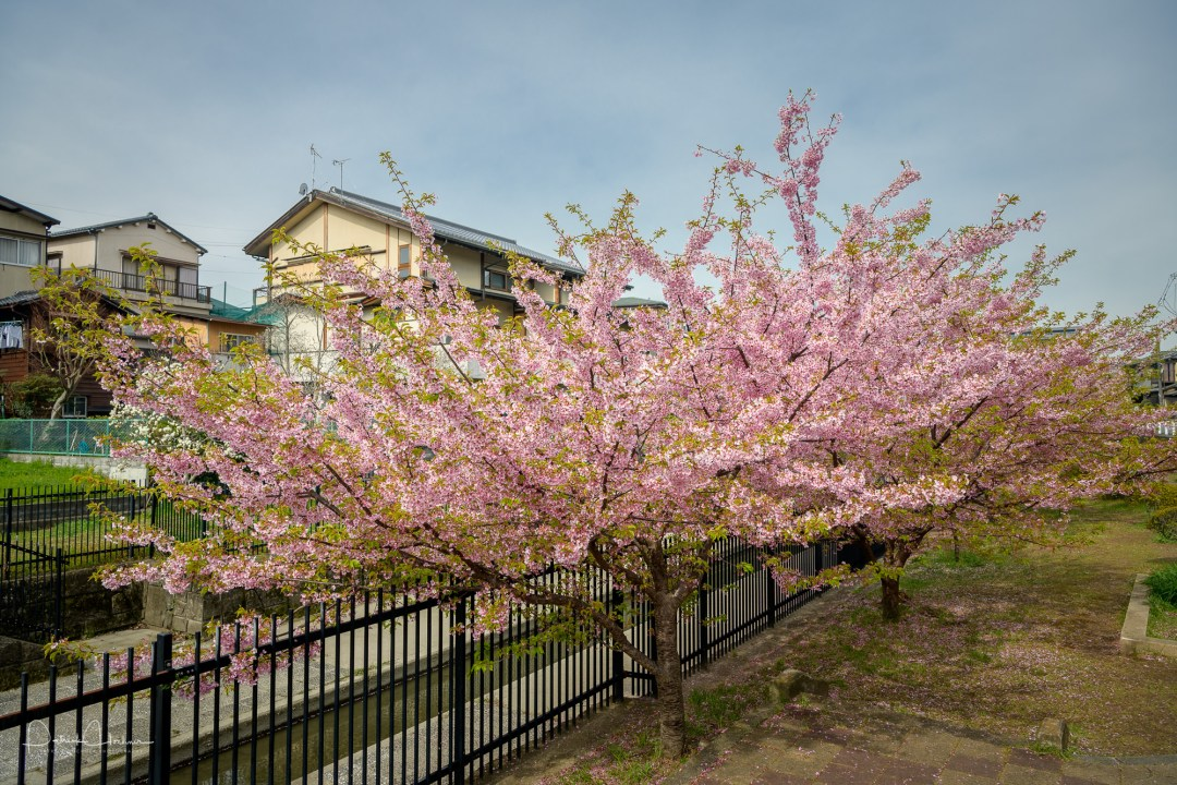 Kawazu Zakura, Cherry blossoms around Yodo, Kyoto