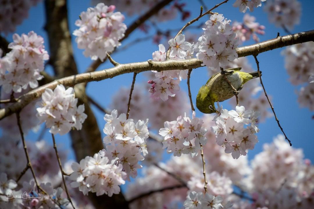 Mejiro bird, (Warbling White Eye) among cherry blossoms around t