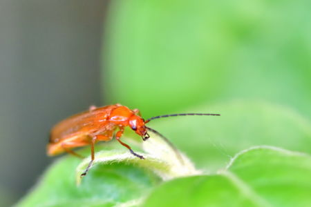 Red-headed insect of the garden (Pyrochroa serraticornis)