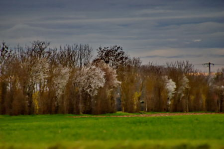 Springtime, first white flowers on trees