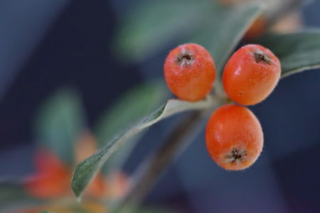 Autumnal orange berries, La Rochelle, France