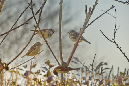 Sparrows in the cherry tree
