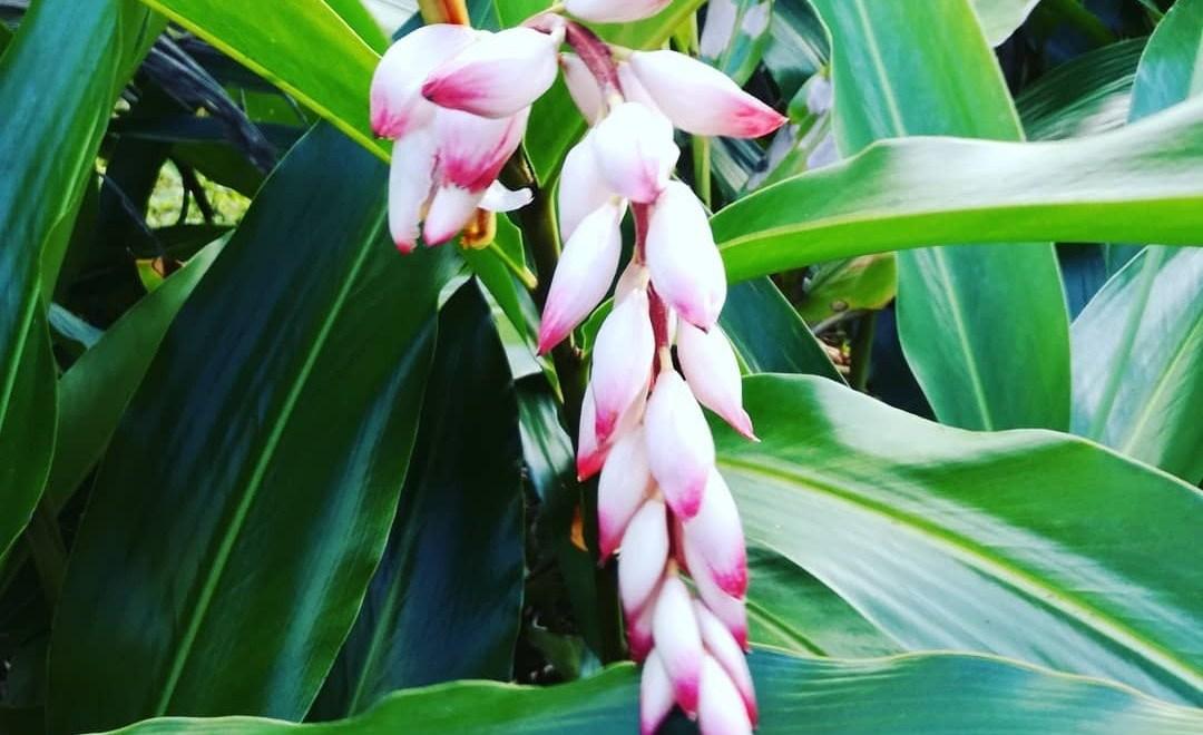 Fleurs en Guadeloupe : explosion de couleurs