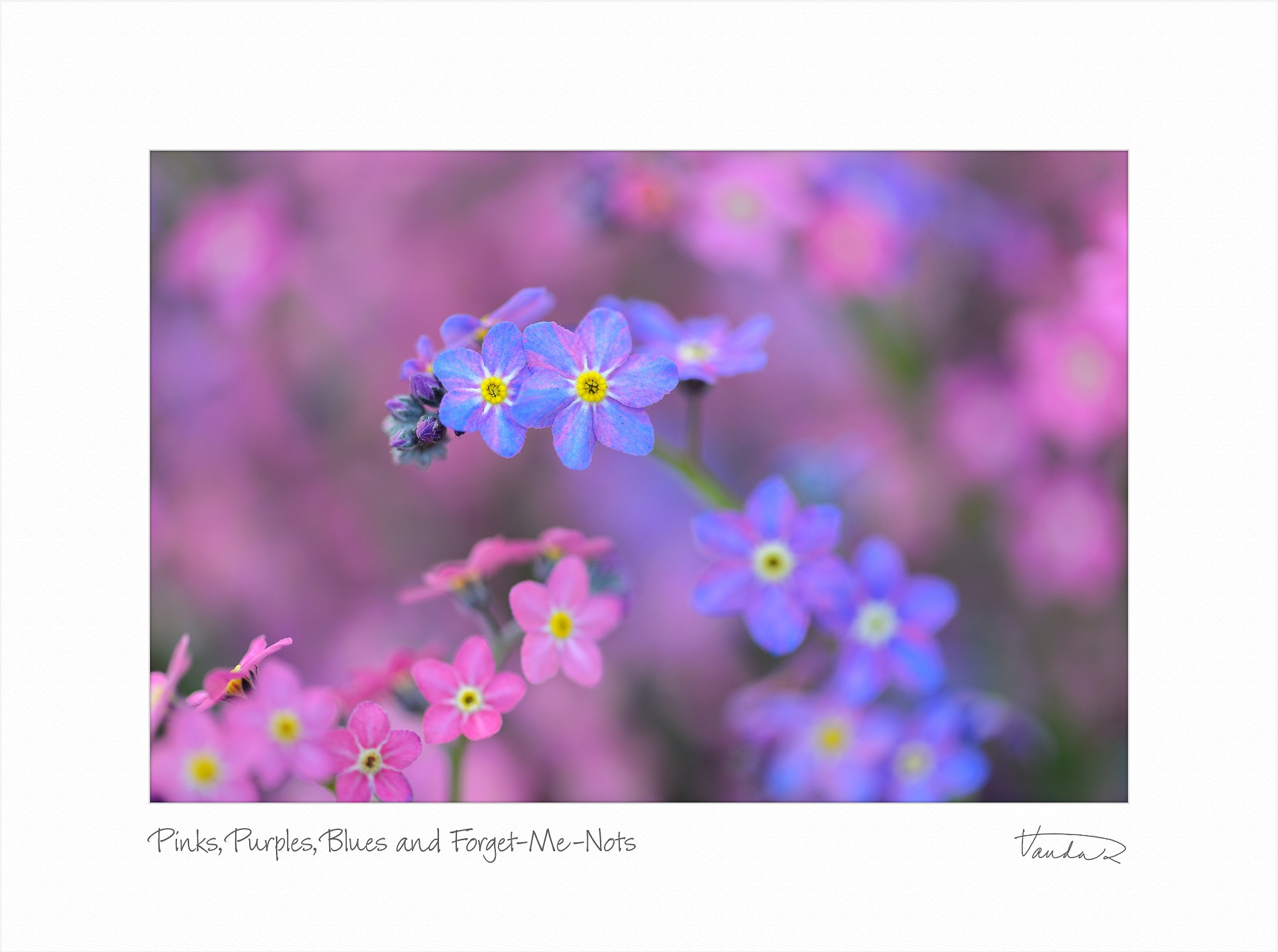 Pinks, Purples, Blues and Forget-Me-Nots