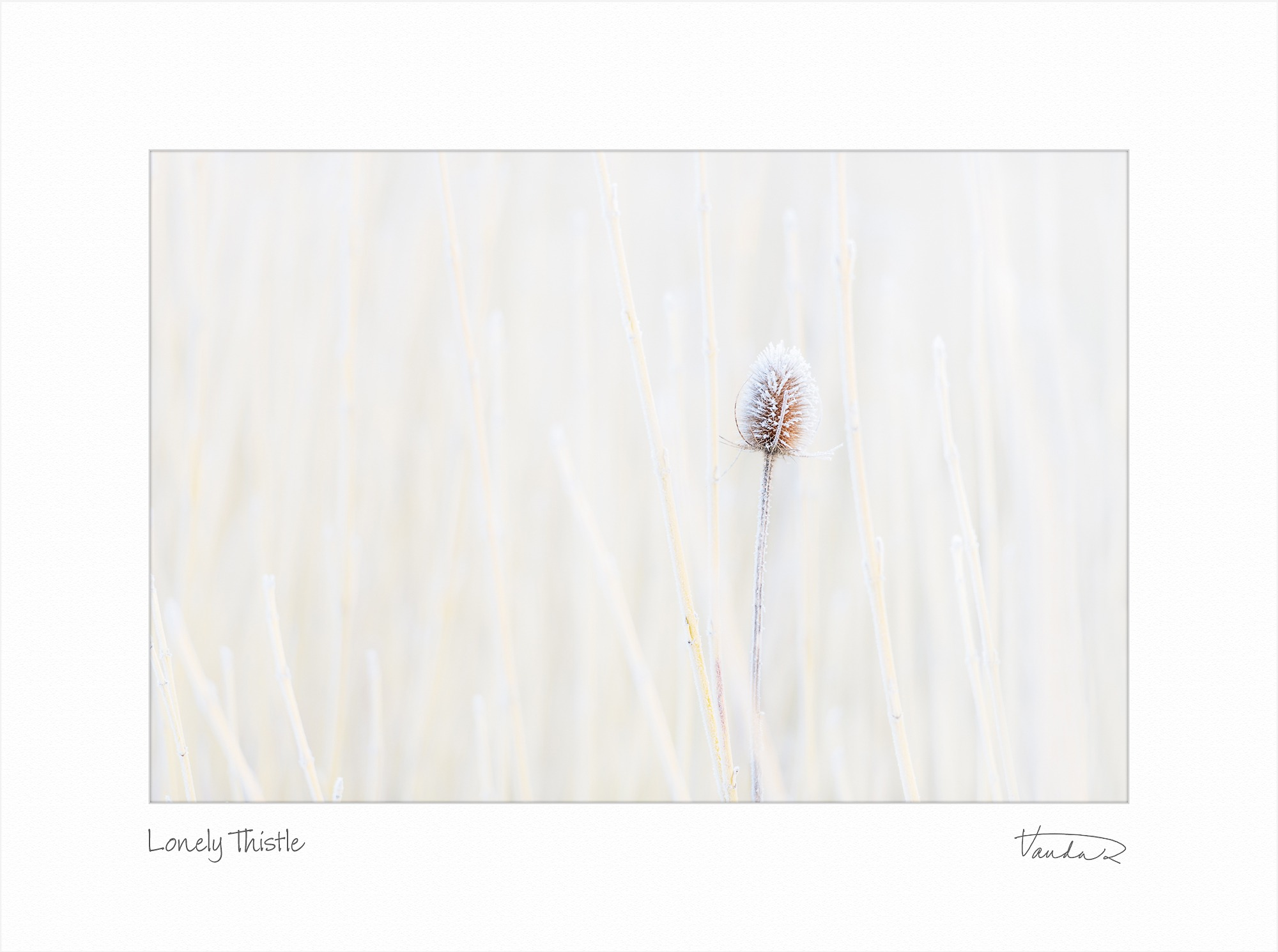 Lonely Thistle