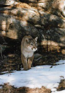 mountain lion in rocks