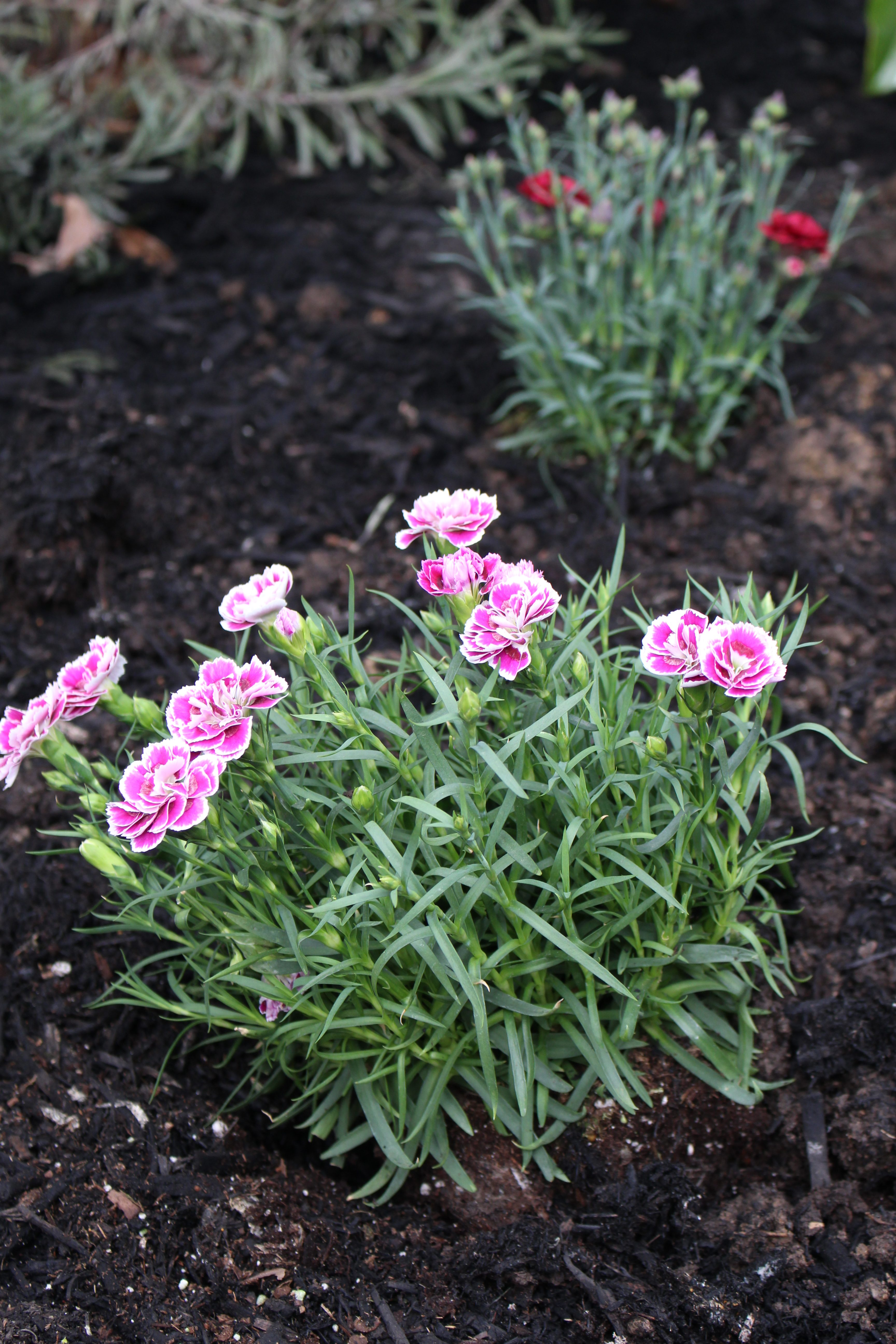 How to Choose the Best Plants for a Butterfly Garden- butterflies- plants that attract butterflies- gardening- plants- flowers- perennials- butterfly plants- Monrovia-
