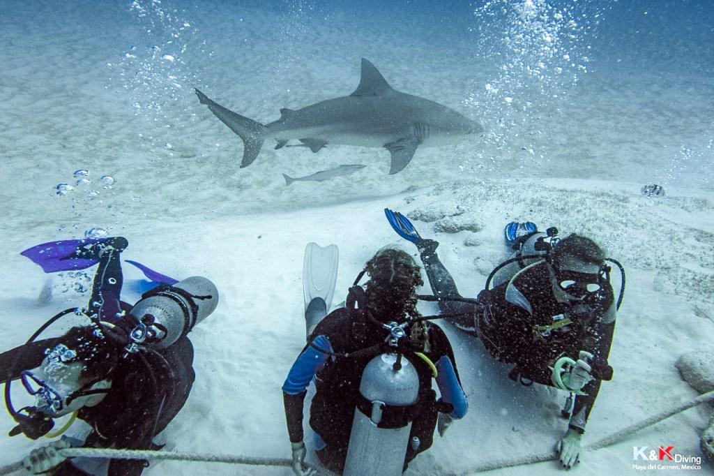 mergulho de tubarão touro