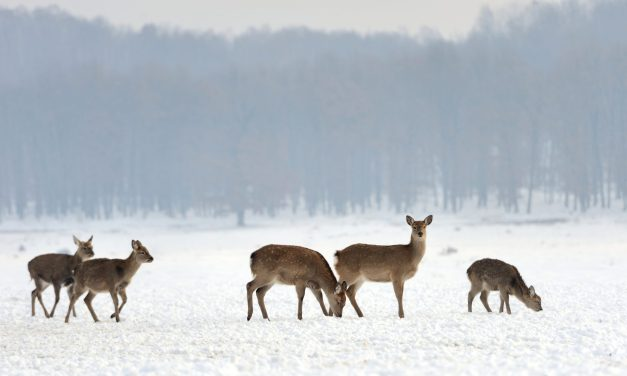 DEC Announces 2019-20 Deer Harvest Estimates