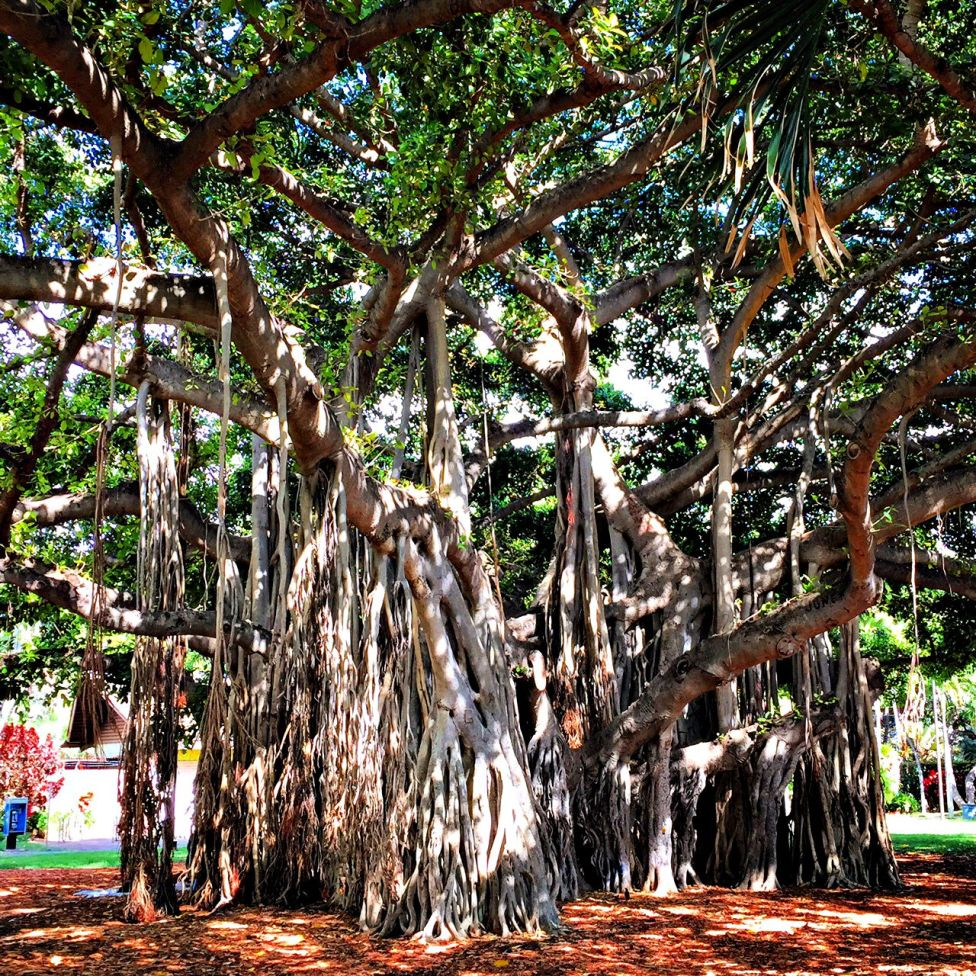 The HUGE Banyan Tree in Waikiki