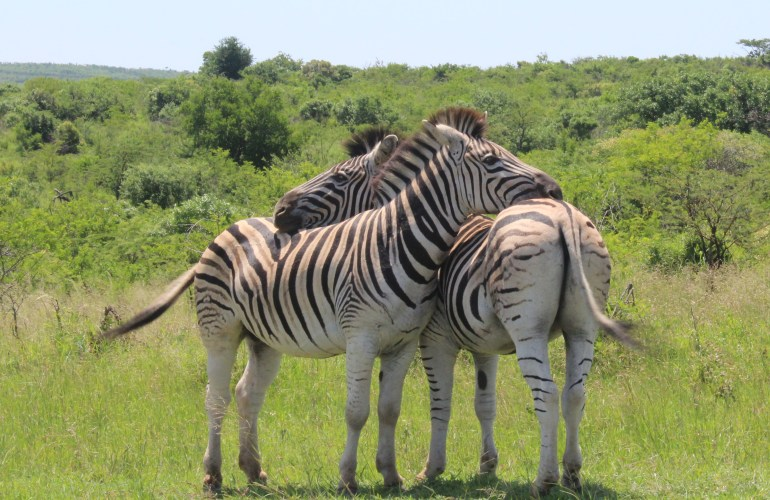 Adventures in South Africa. Two zebra rest their heads on each other in the Hluhluwe Imfolozi game reserve in Kwazulu Natal
