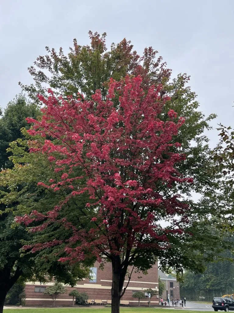 The leaves change overnight during Fall and it is beautiful to see bright red where there was previously only green.